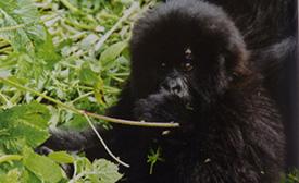 baby gorilla photograph