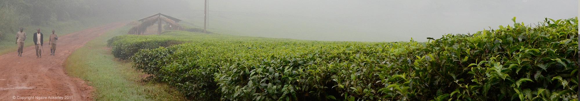 Kibale Tea Plantations, Uganda