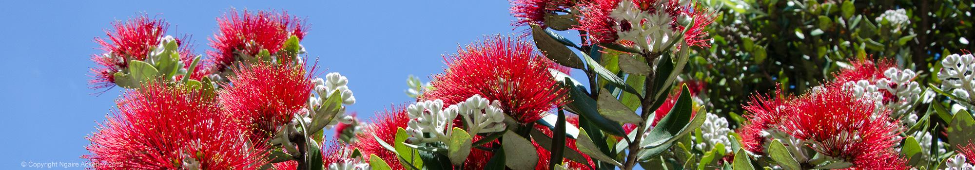 NZ Pohutukawa Tree