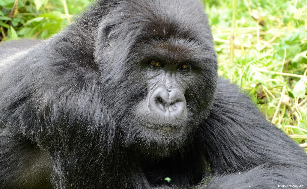 Gorilla of Rwanda