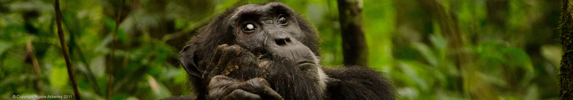 chimp-kibale-forest-copyright-ngaire-ackerley-2011